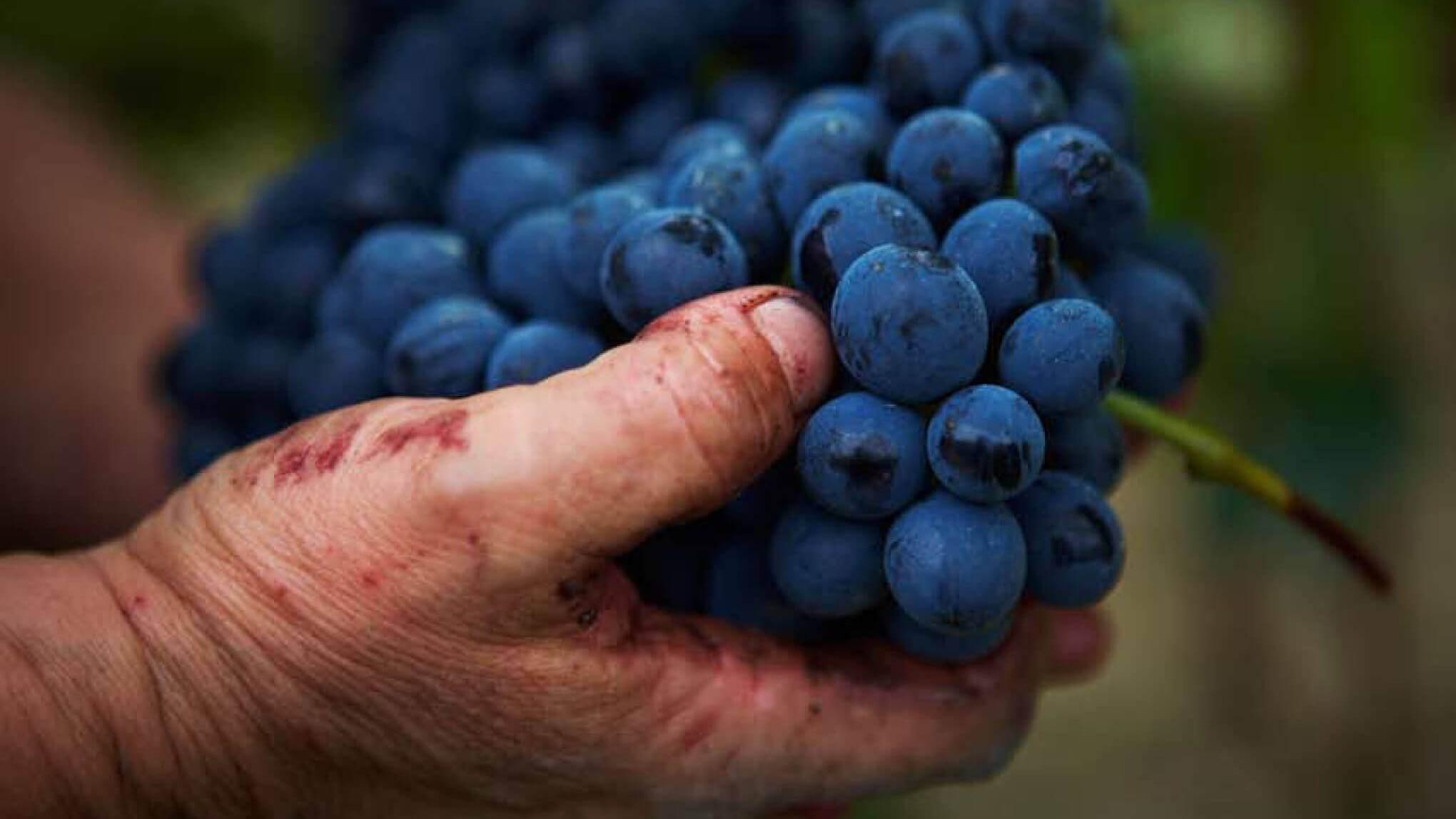 Сорт винограда Барбера