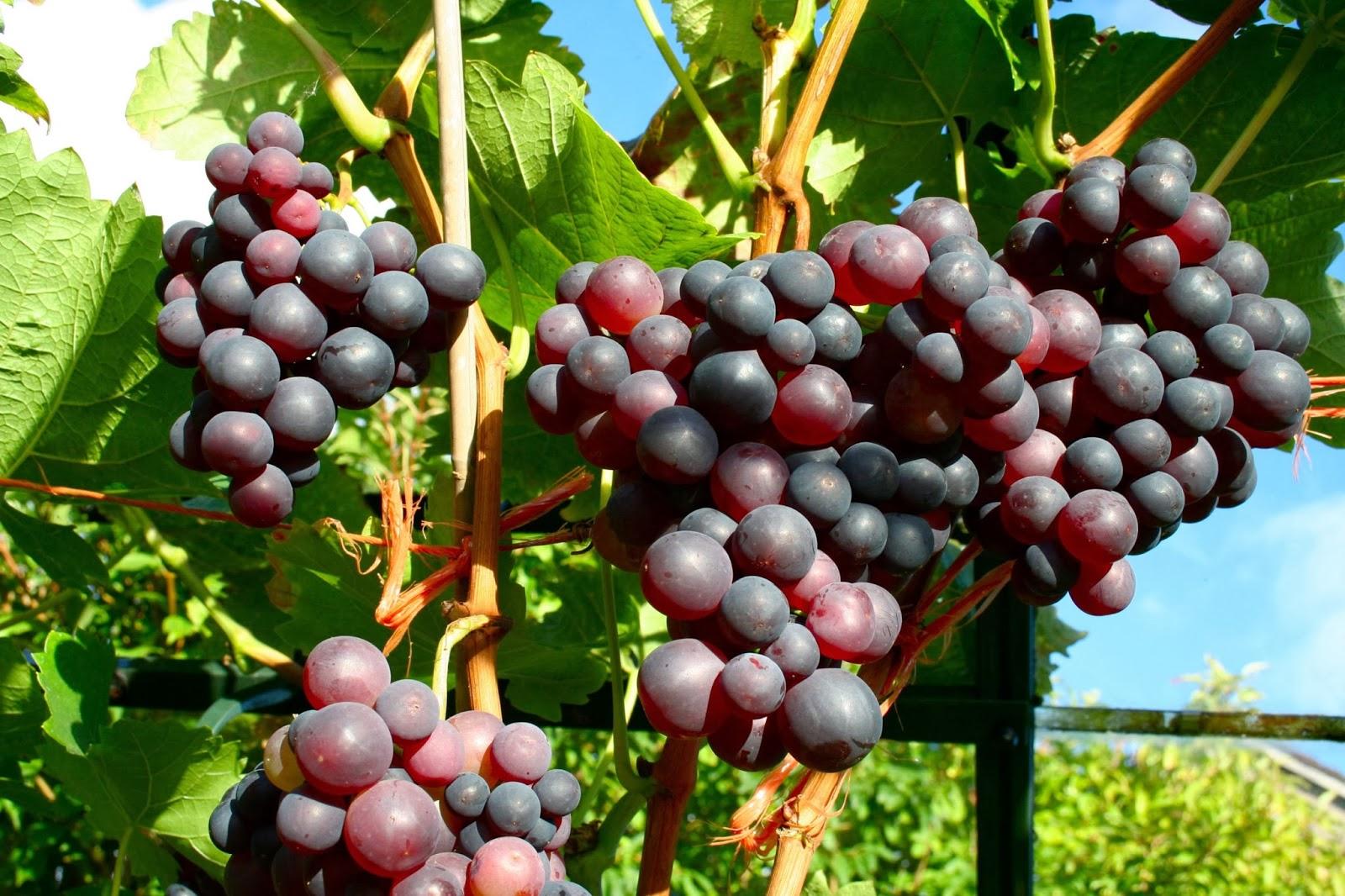 Сорт винограда Мускат