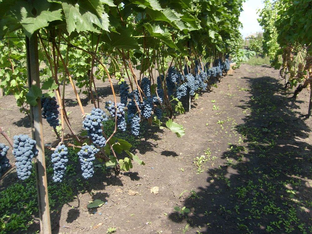 Сорт винограда Рондо
