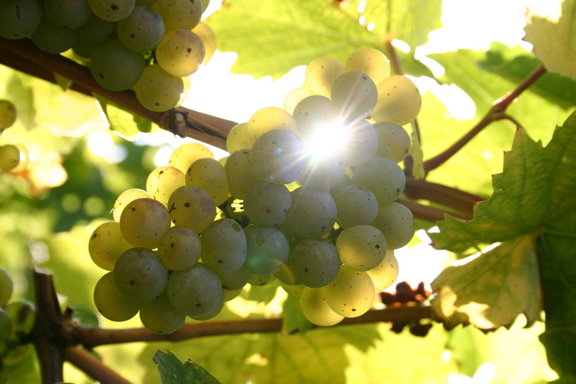 Сорт винограда Рислинг